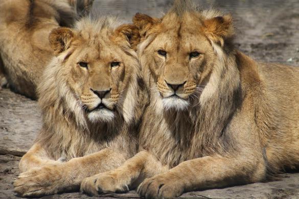 Пещерные львы отделились от своих собратьев 500 тыс. лет назад