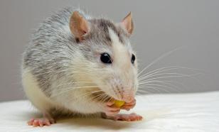 Крысы помогут изучить действие усов животных