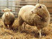 """""""Царица полей"""" притесняет овец Германии"""