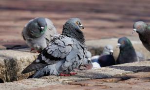 Петербуржцев призывают не кормить ворон и голубей