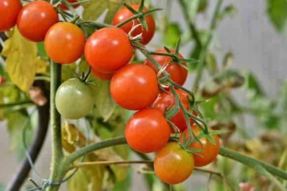 Биологи вывели новый сорт помидоров для города и космоса