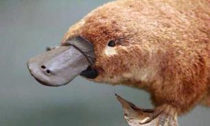 Утконосы Австралии находятся под угрозой исчезновения