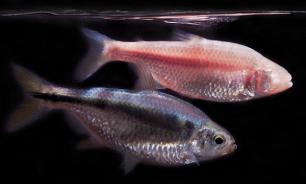 Как экзотическая рыба поможет сердцу человека