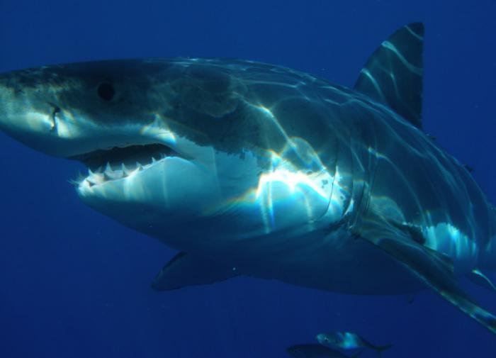 У берегов Канады поймали белую акулу весом в полторы тонны
