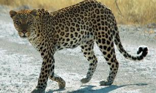 В Приморье на дороге сбили леопарда