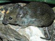 Крысы готовы прислуживать пчелам