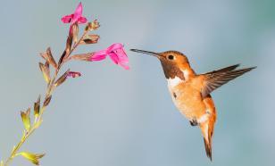 Опыляемые колибри растения эволюционируют быстрее