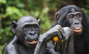 Японские ученые приблизили шимпанзе к человеку: мы и они одинаково распознаем лица