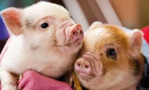 Модный питомец: свинка размером с чашку