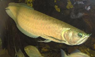 Рыбы с тремя глазами появились в Приморском океанариуме