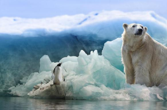 Ушли почти все белые медведи, окружавшие село на Чукотке
