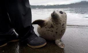 Разъяренные тюлени загнали рыбака на скалу