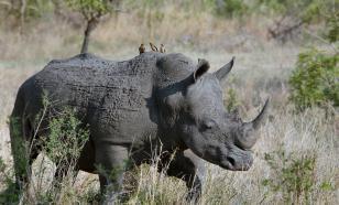 """Микробиологи придумали, как """"оживить"""" исчезнувший вид носорогов"""