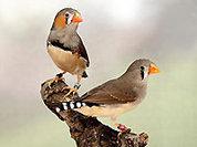 Певчая птичка научит людей говорить