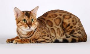 Наиболее дорогие кошки мира