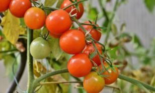 В Турции пожаловались на проблемы отправки томатов в Россию