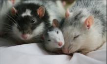 Уроки семьи от калифорнийских мышей