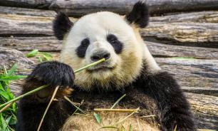 Зоопарк в Москве запустил онлайн-трансляцию из вольера панд