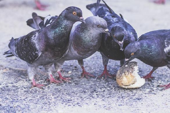 Орнитолог: не кормите голубей – они разносят инфекции и болезни