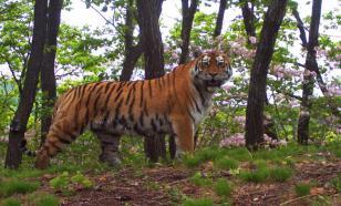 Кто спасет амурского тигра?