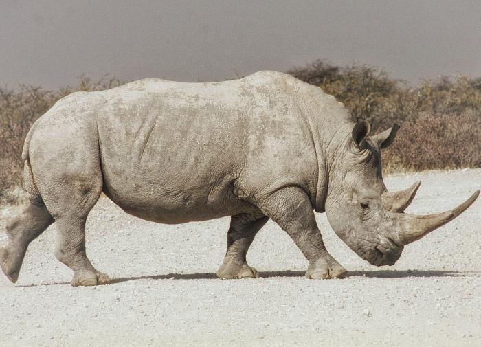 Биологи вырастили два эмбриона северного белого носорога