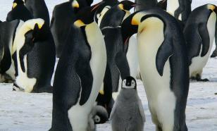 Иглу защитит пингвинов от глобального потепления