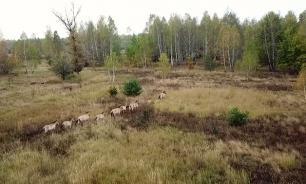 Житель Украины заснял живущих в Чернобыле лошадей Пржевальского