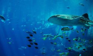 Японские биологи обнаружили у китовых акул зубы на глазах