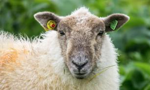 Украинские волонтеры спасли стадо овец
