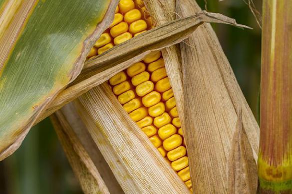 Страсти по этанолу: цены на кукурузу уже выросли в два раза