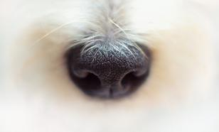 """В России разработали искусственный """"нос собаки"""", определяющий болезни"""