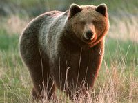 Медведь задрал сотрудника заповедника в Карачаево-Черкесии.