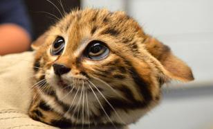 Гингивит и инфекции дыхательных путей: распространенные заболевания кошек