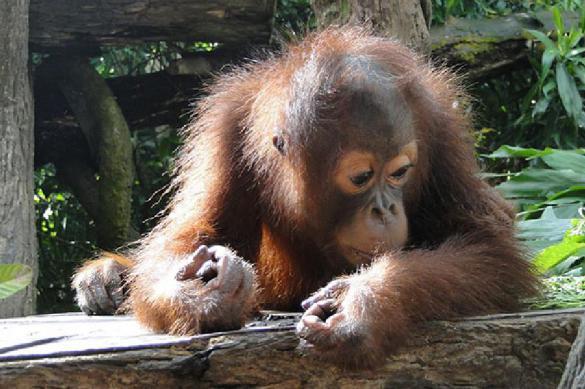 Детский врач сделал операцию новорожденному орангутану
