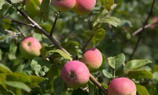 Яблоки активизируют производство новых клеток мозга