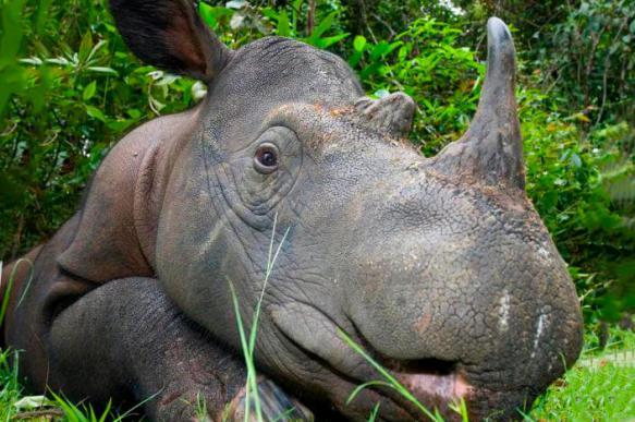 СМИ Малайзии сообщают о смерти последнего самца суматранского носорога в стране