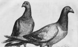 Животные-герои: как голубка спасла солдат в годы Первой мировой
