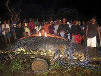 Крокодил-людоед весом в тонну пойман на Филиппинах.