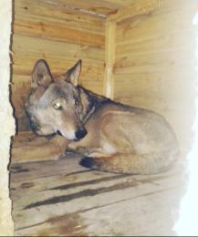 По улицам Ростова гуляет волк
