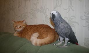 Попугай научился разговаривать с кошками