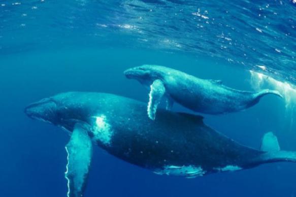 Биологи впервые сделали ЭКГ синему киту