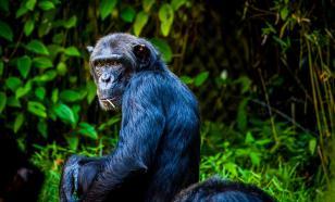 Биологи обнаружили кость в сердце у шимпанзе