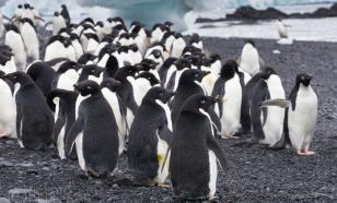 В Антарктиде обнаружили мумии вымерших пингвинов Адели