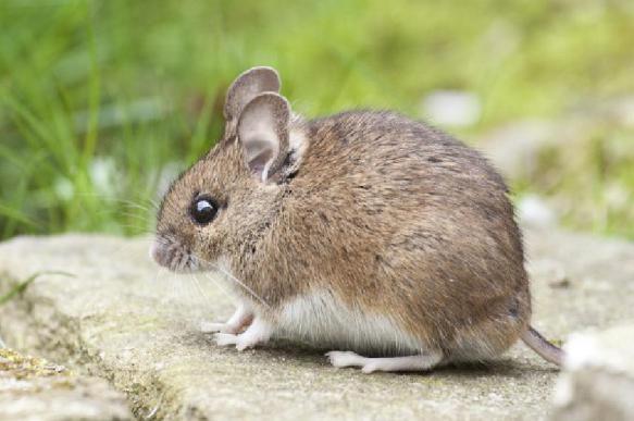 Генный коктейль спас мышей от четырех возрастных заболеваний