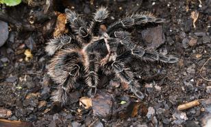 Яд пауков-птицеедов может помочь в лечении хронических болей