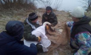 Жители Карелии рисковали жизнью, чтобы спасти лебедя