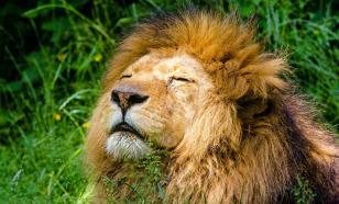 Древних пещерных львов признали самостоятельным видом