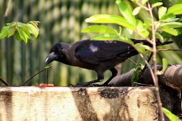 Новокаледонские вороны доказали свою способность к самоконтролю