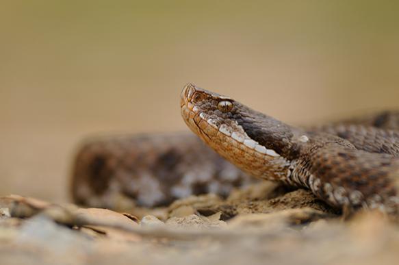 Маленький ребенок загрыз насмерть ядовитую змею