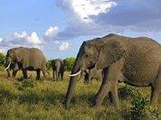 Слоны оказались замечательными лингвистами